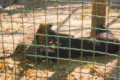 η λεοπάρδαλη και ο μαύρος πάνθηρας παίζουν Στοκ φωτογραφία με δικαίωμα ελεύθερης χρήσης
