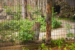 Η λεοπάρδαλη χιονιού προσέχει τους ανθρώπους από πιό valier στοκ εικόνα