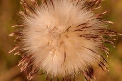 Η λεπτομέρεια του λουλουδιού κάρδων σε ένα λιβάδι στο ηλιοβασίλεμα, υπενθυμίζει στον ήλιο - κινηματογράφηση σε πρώτο πλάνο στοκ φωτογραφία με δικαίωμα ελεύθερης χρήσης