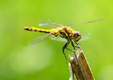 Η λιβελλούλη είναι ένα έντομο ζωντανός κοντά στους οργανισμούς νερού στοκ φωτογραφία με δικαίωμα ελεύθερης χρήσης