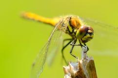 Η λιβελλούλη είναι ένα έντομο ζωντανός κοντά στους οργανισμούς νερού στοκ εικόνα με δικαίωμα ελεύθερης χρήσης