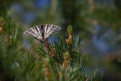 Η λιγοστή πεταλούδα podalirius Iphiclides swallowtail κάθεται μια γούνα Ρηχό DOF Στοκ φωτογραφία με δικαίωμα ελεύθερης χρήσης