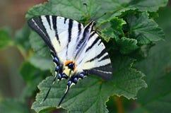 Η λιγοστή σπάνια ευρωπαϊκή πεταλούδα podalirius Iphiclides swallowtail κάθεται στους θάμνους της άνθησης raspberrie Στοκ Εικόνες