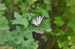 Η λιγοστή σπάνια ευρωπαϊκή πεταλούδα podalirius Iphiclides swallowtail κάθεται στους θάμνους της άνθησης raspberrie Στοκ εικόνα με δικαίωμα ελεύθερης χρήσης