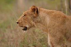 η λιονταρίνα κοιτάζει επί&mu Στοκ εικόνες με δικαίωμα ελεύθερης χρήσης