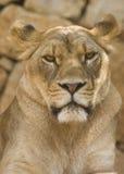 η λιονταρίνα κοιτάζει Στοκ Εικόνα