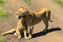 Η λιονταρίνα με cub της στοκ εικόνες