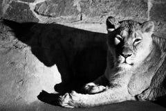Η λιονταρίνα πετά μια σκοτεινή σαφή σκιά, επαναλαμβάνοντας τη σκιαγραφία του χ στοκ εικόνες