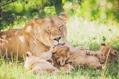 Η λιονταρίνα πλένει cubs της στη χλόη στοκ εικόνα