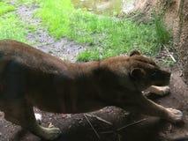 Η λιονταρίνα τέντωσε έξω κατά μήκος ενός τοίχου ερευνώντας την περιοχή της στοκ εικόνες