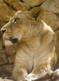 η λιονταρίνα 2 κοιτάζει Στοκ Φωτογραφίες