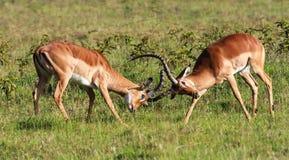 Η μάχη για το θηλυκό impala Κένυα Στοκ Εικόνα