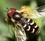 η μέλισσα αιωρείται Στοκ εικόνα με δικαίωμα ελεύθερης χρήσης