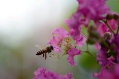 Η μέλισσα βρίσκει το γλυκό από Lagerstroemia στοκ φωτογραφία με δικαίωμα ελεύθερης χρήσης