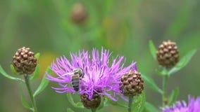 Η μέλισσα είναι σε ένα καφετί knapweed λουλούδι φιλμ μικρού μήκους