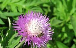 Η μέλισσα επικονιάζει τα άγρια λουλούδια στο σαφή καιρό στοκ εικόνες