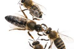 Η μέλισσα εργαζομένων ταΐζει τη βασίλισσα Στοκ Εικόνα