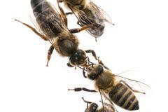 Η μέλισσα εργαζομένων ταΐζει τη βασίλισσα Στοκ φωτογραφία με δικαίωμα ελεύθερης χρήσης