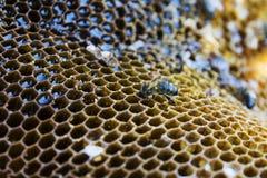 Η μέλισσα κάθεται σε μια κηρήθρα και επεξεργάζεται το μέλι στοκ εικόνες
