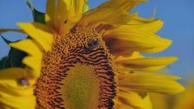 Η μέλισσα κινηματογραφήσεων σε πρώτο πλάνο συλλέγει το νέκταρ από ένα λουλούδι ηλίανθων απόθεμα βίντεο