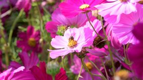 Η μέλισσα κρατά τη γύρη του ρόδινου λουλουδιού κόσμου απόθεμα βίντεο