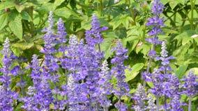 Η μέλισσα κρατά τη γύρη lavender του λουλουδιού απόθεμα βίντεο