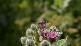 Η μέλισσα μελιού συλλέγει τη γύρη για το μέλι σε ένα πορφυρός-κόκκινο λουλούδι φιλμ μικρού μήκους