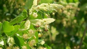 Η μέλισσα μελιού, melifera apis, άνθη δέντρων επικονίασης ανθίζοντας, κλείνει επάνω φιλμ μικρού μήκους