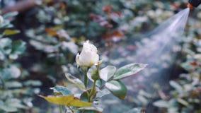 Η μέλισσα πέταξε στα ύψη από το μπουμπούκι τριαντάφυλλου κατά τη διάρκεια του ποτίσματος απόθεμα βίντεο