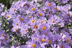 Η μέλισσα παίρνει το νέκταρ από τα μικρά πορφυρά λουλούδια στοκ φωτογραφία με δικαίωμα ελεύθερης χρήσης