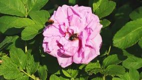 Η μέλισσα που συλλέγει τη γύρη αυξήθηκε απόθεμα βίντεο