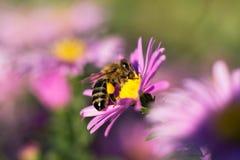 Η μέλισσα σε ένα λουλούδι συλλέγει τη στενή επάνω μακροεντολή νέκταρ στοκ εικόνες