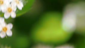 Η μέλισσα σε μια άσπρη επάνθιση συλλέγει την άνοιξη τη γύρη Monogyna crataegus την άνοιξη Άσπρη ταλάντευση επανθίσεων στον αέρα φιλμ μικρού μήκους