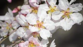 Η μέλισσα συλλέγει τη γύρη από τα άσπρα λουλούδια στον οπωρώνα Ανθίζοντας δέντρο μηλιάς την άνοιξη Κλάδος με τα άνθη στον ήλιο Αν φιλμ μικρού μήκους