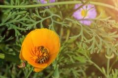 Η μέλισσα συλλέγει το μέλι από το κίτρινο λουλούδι στοκ φωτογραφία