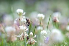 Η μέλισσα συλλέγει το μέλι σε ένα άνθος τριφυλλιού Στοκ Εικόνες