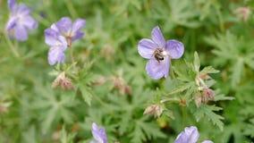 Η μέλισσα συλλέγει το νέκταρ από ένα μπλε λουλούδι o απόθεμα βίντεο