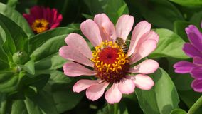 Η μέλισσα συλλέγει το νέκταρ από το ρόδινο λουλούδι στον κήπο την άνοιξη, καλοκαίρι Πολύχρωμα λουλούδια στο πάρκο όμορφος φιλμ μικρού μήκους