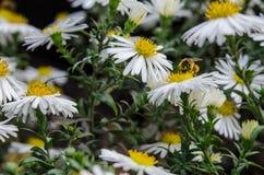 Η μέλισσα συλλέγει το νέκταρ από τον τομέα chamomile στοκ φωτογραφίες με δικαίωμα ελεύθερης χρήσης