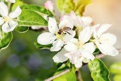 Η μέλισσα συλλέγει το νέκταρ και πετά Δέντρο της Apple που ανθίζει στο ελατήριο Στοκ Φωτογραφία