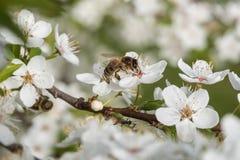 Η μέλισσα συλλέγει το νέκταρ και τη γύρη στα άσπρα λουλούδια κερασιών στοκ φωτογραφίες