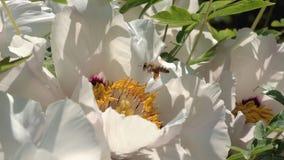 Η μέλισσα συλλέγει το νέκταρ στα λουλούδια φιλμ μικρού μήκους