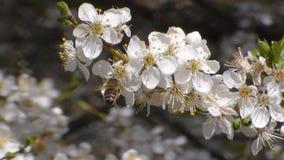 η μέλισσα συλλέγει το νέκταρ στα λουλούδια του άσπρου ανθίζοντας μήλου Anthophila, mellifera Apis o απόθεμα βίντεο