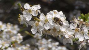 η μέλισσα συλλέγει το νέκταρ στα λουλούδια του άσπρου ανθίζοντας μήλου Anthophila, mellifera Apis απόθεμα βίντεο