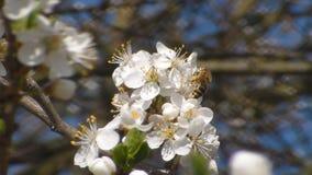 η μέλισσα συλλέγει το νέκταρ στα λουλούδια του άσπρου ανθίζοντας μήλου Anthophila, mellifera Apis φιλμ μικρού μήκους