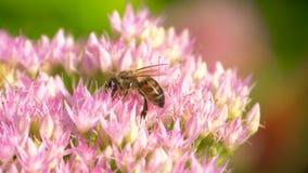 Η μέλισσα συλλέγει το νέκταρ στο ρόδινο λουλούδι ανθών απόθεμα βίντεο