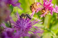 η μέλισσα συλλέγει το νέκταρ Στοκ φωτογραφία με δικαίωμα ελεύθερης χρήσης