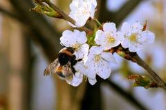 Η μέλισσα Bumble συλλέγει το νέκταρ στο ανθίζοντας δέντρο μηλιάς στοκ εικόνες