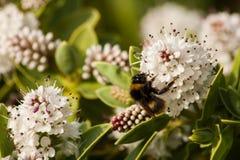 Η μέλισσα επικονιάζει τα λουλούδια. Στοκ Εικόνα