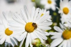 Η μέλισσα εργάζεται στα μεγάλα λουλούδια των chamomiles στοκ φωτογραφία